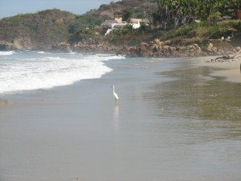 White Heron on Litibu Beach